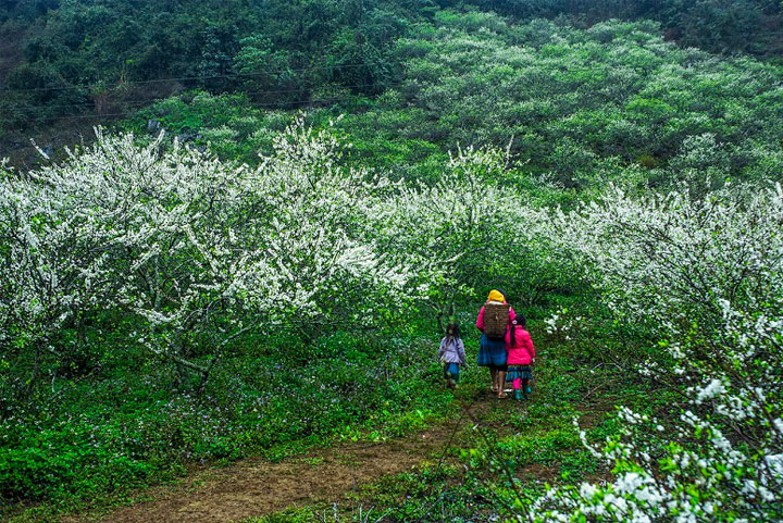 bac ha vietnam plateau pruniers