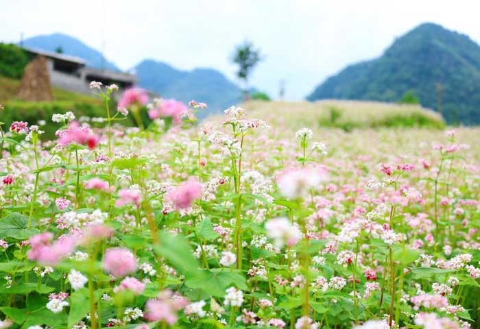 ha giang fleurs sarrasin