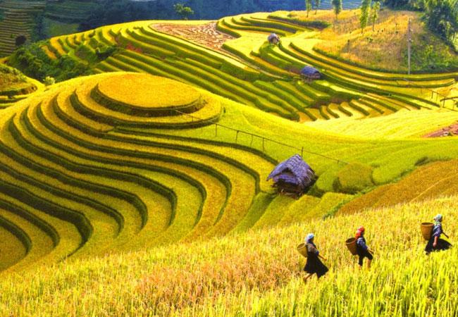 sapa vietnam riziere en terrasse