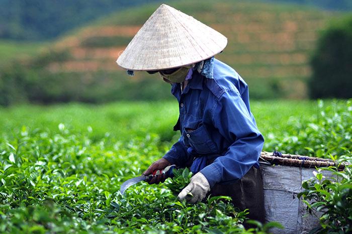 idées souvenirs Vietnam thé