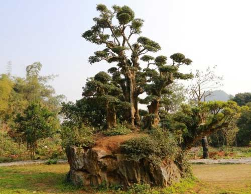 thung nham arbre duoi millenaire