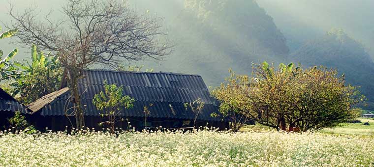 vietnam fleur prunier nord