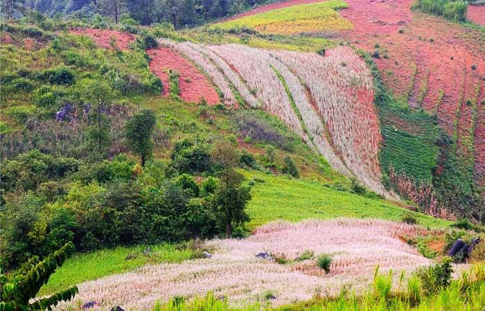 vietnam ha giang fleur sarrasin