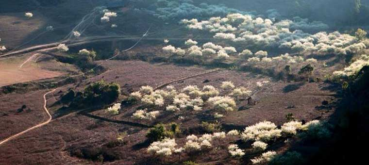 vietnam fleur prunier