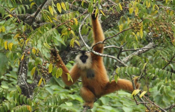 visiter cao bang reserve gibbon cao vit